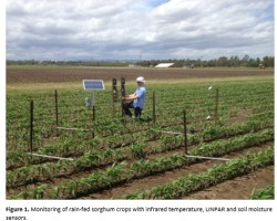 Monitoring of rain-fed sorghum crops with infrared temperature, LINPAR and soil moisture sensors.